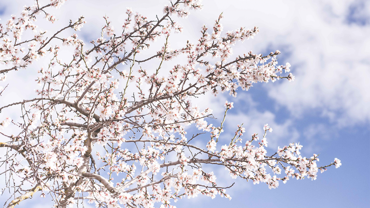 What Events You Must See At The Vancouver Cherry Blossom Festival Evergreen Orthodontics